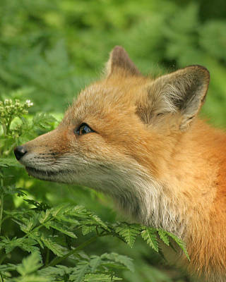 Print featuring the photograph Young Red Fox In Profile by Doris Potter