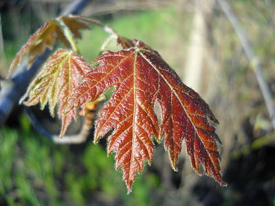 Photograph - Young Red Maple Leaf In May by Kent Lorentzen