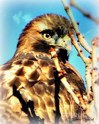 Photograph - Young Red Tail Hawk by Bobbee Rickard