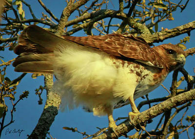 Young Red-tail Art Print by Phill Doherty
