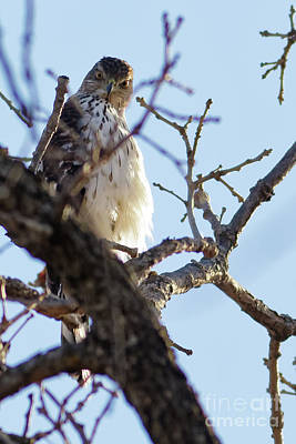 Photograph - Young Red Tailed Hawk by Natural Focal Point Photography