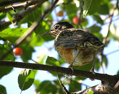 Art Print featuring the photograph Young Robin by Angie Rea