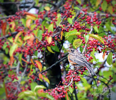 Photograph - Young Robin In The Berries by Kerri Farley