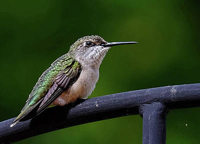 Photograph - Young Ruby Throated Hummer by Ronda Ryan