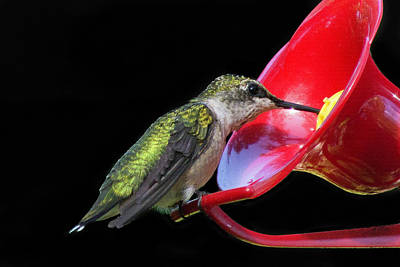 Photograph - Young Ruby Throated Hummingbird 2 by Kenneth Cole