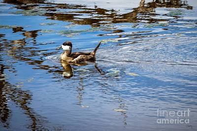Photograph - Young Ruddy Duck by Imagery by Charly
