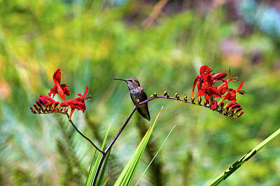 Photograph - Young Rufous Hummingbird Perched On Flower by David Gn