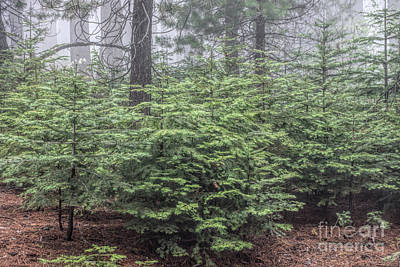 Photograph - Young Sequoias by Peggy Hughes