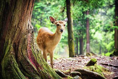 Young Sika Deer In Nara Park Art Print