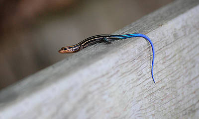 Photograph - Young Southeastern Five Lined Skink by rd Erickson