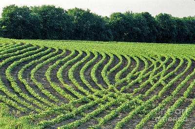 Contour Farming Photograph - Young Soybean Plants by Inga Spence