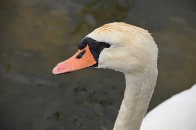 Photograph - Young Swan by Sherri Strikwerda