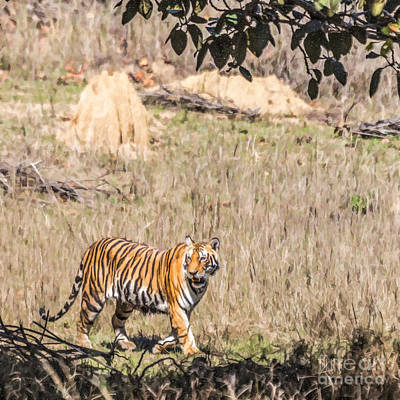 Digital Art - Young Tiger Walking In Kanha National Park Madhya Pradesh India by Liz Leyden