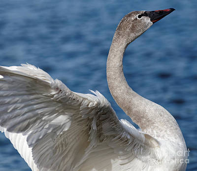 Photograph - Young Trumpeter Swan by Sue Harper