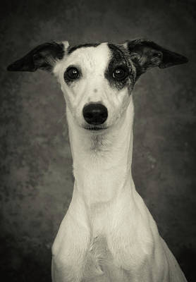 Brindle Photograph - Young Whippet In Black And White by Greg and Chrystal Mimbs