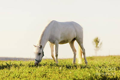 Photograph - Young White Horse Eating Grass From A Field. by Michal Bednarek
