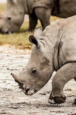 Sean - Young White Rhino Walking by Jacques Jacobsz