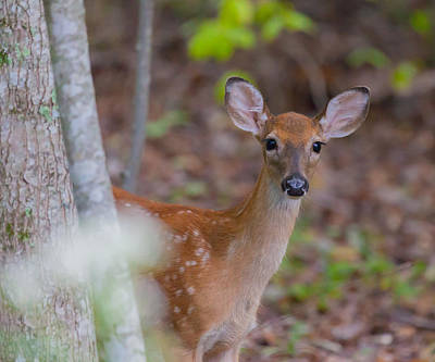Photograph - Young White Tailed Deer by Melinda Fawver