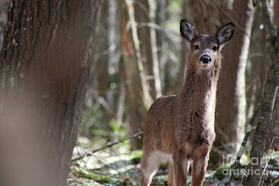Photograph - Young White-tailed Deer  by Neal Eslinger