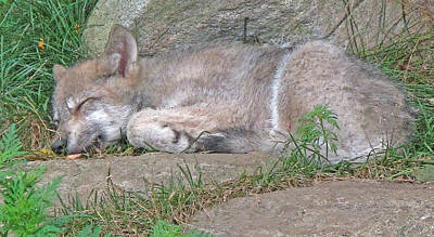 Photograph - Young Wolf Cub Sleeping by Ian  MacDonald