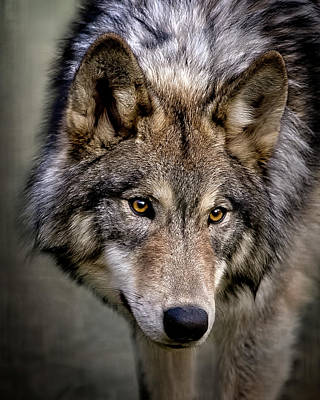 Photograph - Young Wolf by Wes and Dotty Weber