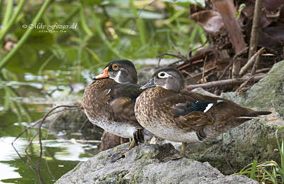 Photograph - Young Wood Duck Pair by Mike Fitzgerald
