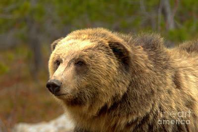Photograph - Young Yellowstone Grizzly by Adam Jewell