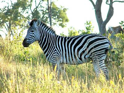Photograph - Young Zebra by Bruce W Krucke