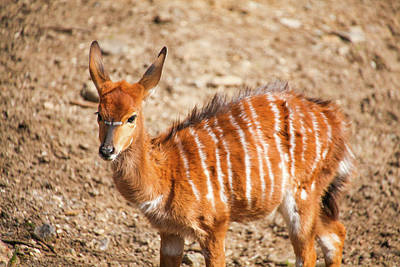 Photograph - Youngster Nyala by Karol Livote