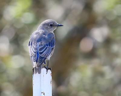 Photograph - Youthful Joy - Bluebird by KJ Swan