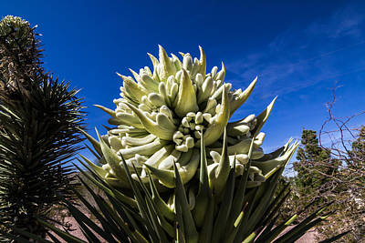 Photograph - Yucca Bloom by Scott Harris