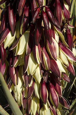 Photograph - Yucca Blooms by Bonnie Follett