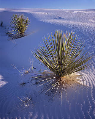 Photograph - Yucca In Gypsum Sand by Tom Daniel