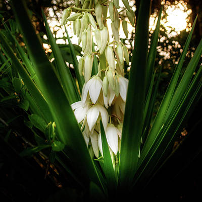 Photograph - Yucca In The Woods by Chrystal Mimbs