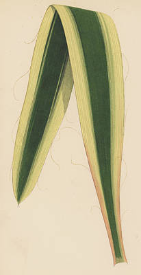 Nature Study Drawing - Yucca Leaf by English School
