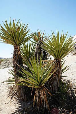 Photograph - Yucca Plant Family by Marilyn Hunt