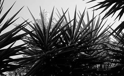 Photograph - Yucca The Spanish Dagger by August Timmermans