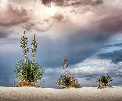 Photograph - Yucca Three 5x6 by James Barber