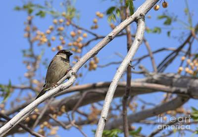 Photograph - Yucca Valley House Sparrow  by Angela J Wright