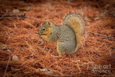Yum Yum Nuts Wildlife Photography By Kaylyn Franks     Art Print