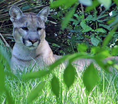 Photograph - Yuma The Florida Panther by D Hackett