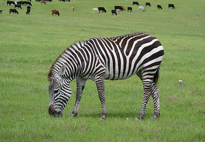 Photograph - Z Is For Zebra by rd Erickson