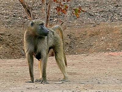 Photograph - Zambia Baboon  by Jennifer Wheatley Wolf