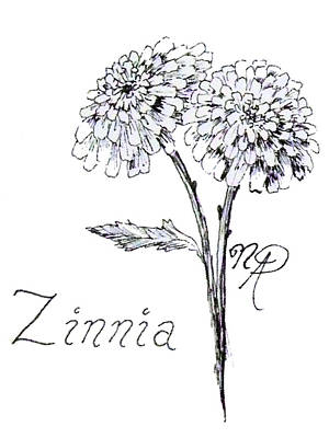 Drawing - Zannie Zinnia by Nicole Angell