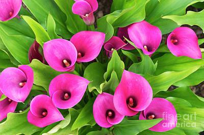 Photograph - Zantedeschia Santa Fe Flowers by Tim Gainey