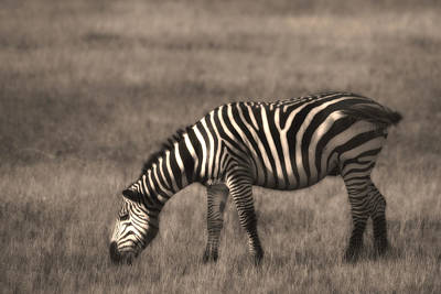 Photograph - Zebra - Zebre by Michel Legare
