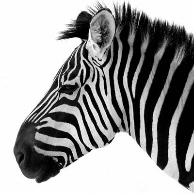 Photograph - Zebra 1 by Jeff Brunton