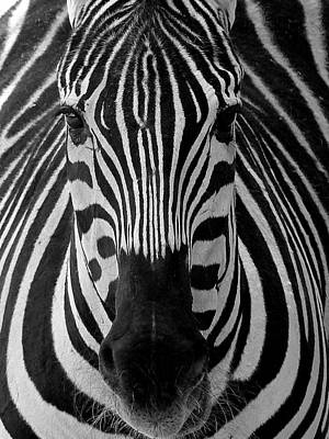 Photograph - Zebra 3 by Jeff Brunton