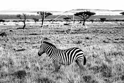 Photograph - Zebra And Friend by Karen Lewis