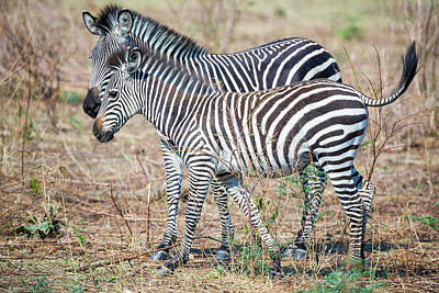 Photograph - Zebra And Young by Fran Gallogly
